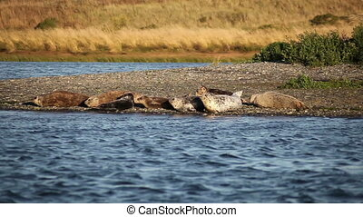 Seals Resting On Rogue River Bank - Group Of Seals On River...