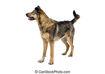 mixed breed dog - side view of a mixed breed dog isolated on...