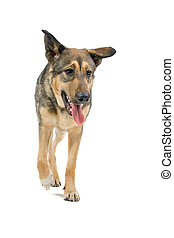 mixed breed dog - Front view of a mixed breed dog panting...