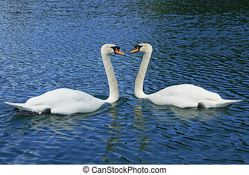 Two swans surrounded by blue water