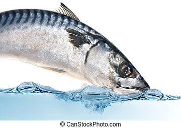Fresh mackerel fish - Fresh Mackerel fish diving into the...
