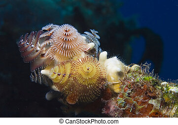 Xmas tree worms - A pretty grouping of these shy calcareous...