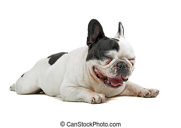 french bulldog (frenchie) laughing