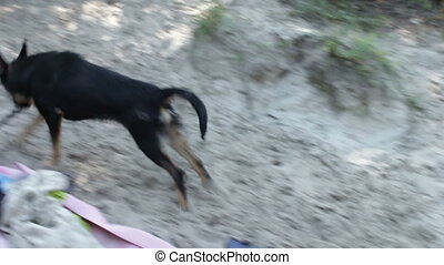 Dog playing with a stick on the beach - Cheerful black a...