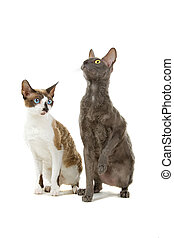 two cornish rex cats - two cute cornish rex cats isolated on...