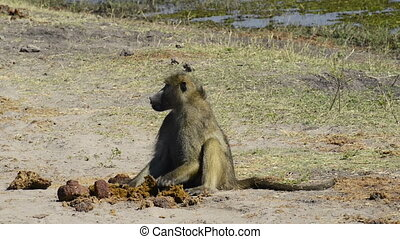 Baboon in Africa - Baboon in Chobe National Park, Botswana,...