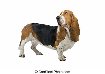 english basset hound - side view of an english basset hound...