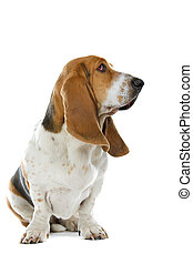english basset hound isolated on a white background