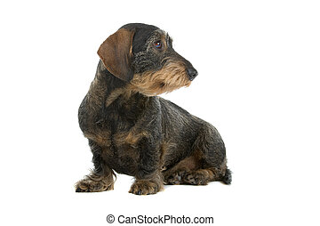 wire haired dachshund dog sitting and looking at side