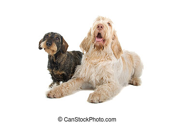 two dogs - Front view of a Spinone italiano and a wire...
