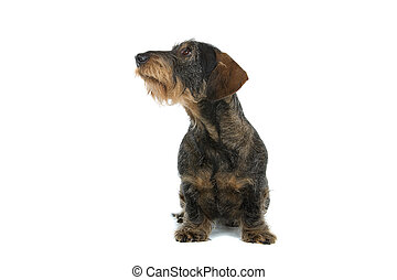 wire haired dachshund dog - front view of wire haired...