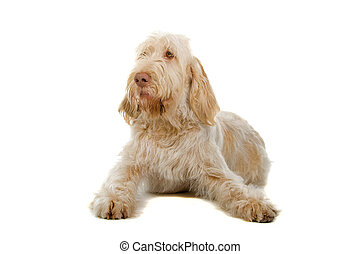 spinone italiano- italian pointer dog isolated on a white...