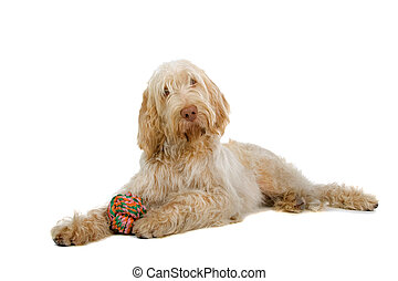 pinone italiano - spinone italiano- italian pointer dog...
