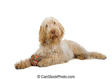 pinone italiano - spinone italiano- italian pointer dog...