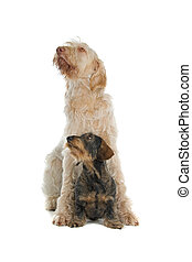 two dogs sitting - Front view of a Spinone italiano and a...