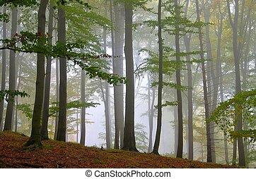 beech forest in fog