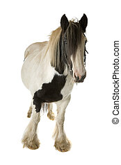 black and white horse - front view of a black and white...