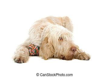 spinone italiano dog - spinone italiano- italian pointer dog...