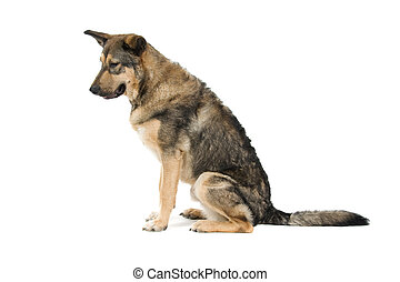 mixed breed dog - side view of a mixed breed dog sitting,...