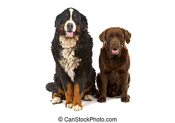 bernese mountain and chocolate labrador - Bernese mountain...