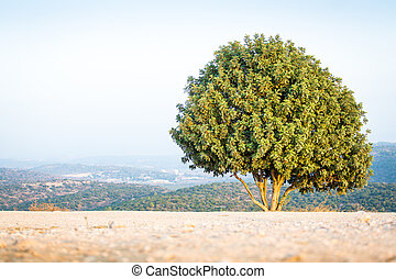 Israeli tree on Mount Azeka, Judean Mountains. - Tree on...