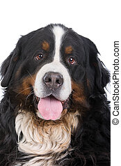 Bernese mountain dog or Berner Sennen - head of Bernese...