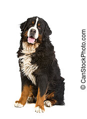 Bernese mountain dog or Berner Sennen - Bernese mountain dog...