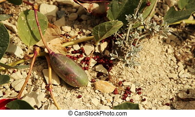 fruit and seeds capers - fruit and seeds of green capers