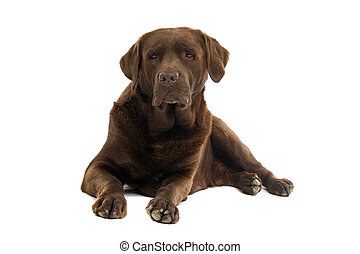 lying chocolate labrador - chocolate labrador dog staring on...