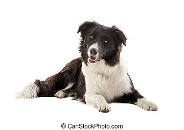 border collie sheepdog lying on the floor