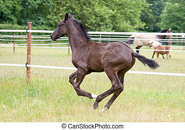 foal running - side view of a beautiful foal running free