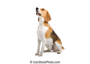 seated beagle dog - sitting beagle dog isolated on a white...