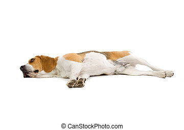 beagle dog - lying beagle dog isolated on a white background