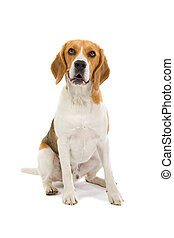 sitting beagle dog isolated on a white background