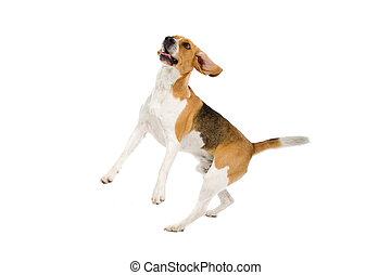 beagle dog jumping, isolated on a white background