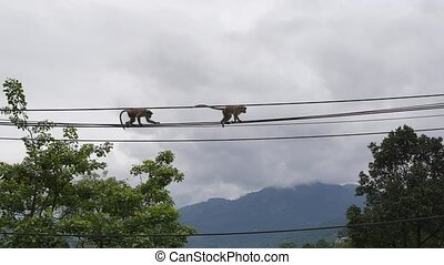 Monkeys going across on telephone wire