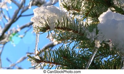 Fir Tree Branches With Melting Snow - CLOSE UP shot of fir...