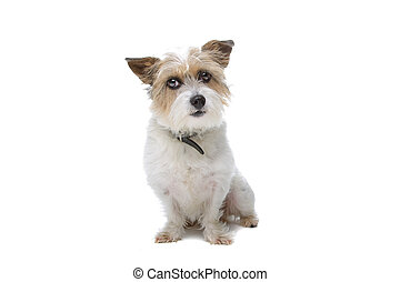 long hair Jack Russell staring, isolated on a white...