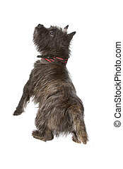 Cairn Terrier dog - back-view of Cairn Terrier dog isolated...