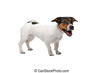 Jack Russell dog isolated on a white background
