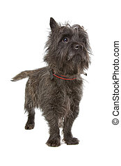 Cairn Terrier dog isolated on a white background
