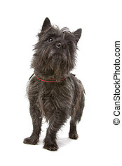 Cairn Terrier dog - sitting Cairn Terrier dog isolated on a...