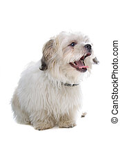 sideview of shih tzu dog