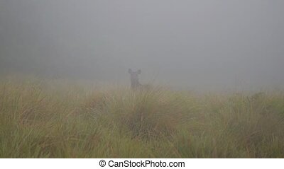 moose or elk in fog in Horton Plains NP, Sri Lanka