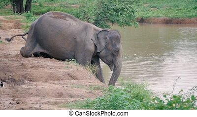 Elephant taking going into river in Sri lanka national park