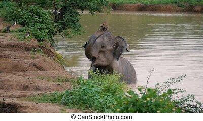 Elephant mud splash and taking bath in river, Sri lanka...