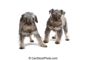 two miniature schnauzer dog isolated on a white back ground