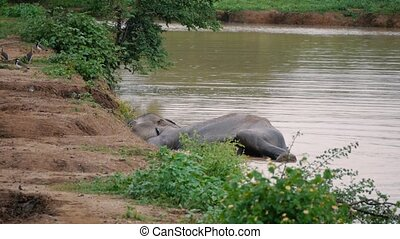 Elephants take a bath in Kwae-noi river. Sri lanka national park