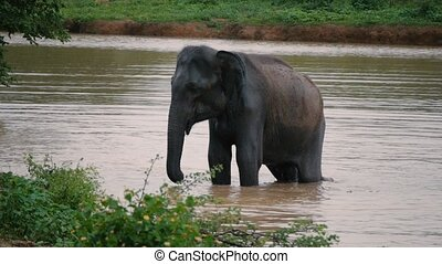 Elephants take a bath in Kwae-noi river Kanchanaburi,...