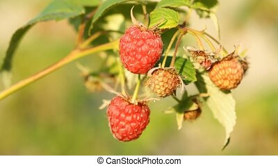 Red raspberry on the branch